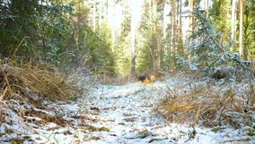 A young dog breed Airedale Terrier runs through the autumn forest covered with a thin layer of snow. The young cheerful dog of the Airedale Terrier breed runs stock video