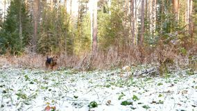 A young dog breed Airedale Terrier runs through the autumn forest covered with a thin layer of snow. The young cheerful dog of the Airedale Terrier breed runs stock footage