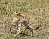 Young Cheetah stock images