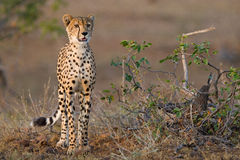 Young cheetah. A young cheetah standing next to a small mopane shrub in late afternoon light Stock Photos