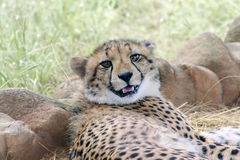 Young Cheetah Royalty Free Stock Photo