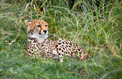 Young Cheetah. This young Cheetah was captured taking time out from playing with it's sibling royalty free stock photo
