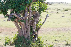 Young Cheetah (Acinonyx jubatus) Royalty Free Stock Images