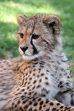 Young Cheetah Cat Royalty Free Stock Photography