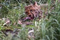 Young Cheetah eating. Royalty Free Stock Photography