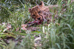 Young Cheetah eating. Stock Image