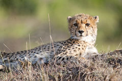 Young Cheetah looking at camera Royalty Free Stock Image