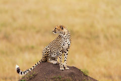 Young cheetah looking for food, Masai Mara Stock Images