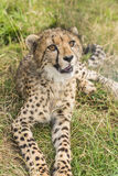 Young cheetah. Lying in the grass Royalty Free Stock Photography