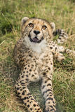 Young cheetah. Lying in the grass Royalty Free Stock Photo