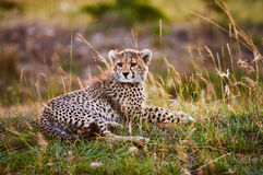 Young Cheetah lying. In savannah grass looks around Royalty Free Stock Photos