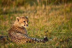 Young Cheetah resting in the African savanna Royalty Free Stock Photo