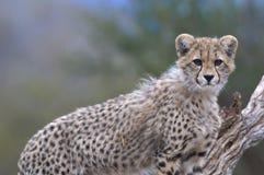 Young Cheetah. A resting cheetah staying alert Stock Image