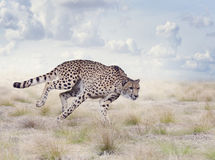 Young Cheetah Running. Cheetah Running in The Grassland Stock Photo