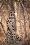 Young cheetah sat in the bush Royalty Free Stock Images