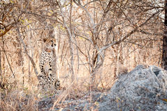 Young cheetah sat in the bush Royalty Free Stock Photography