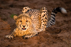 Young cheetah in setting sun Royalty Free Stock Photo