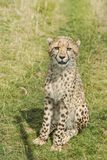 Young cheetah. Sitting in the grass Royalty Free Stock Images