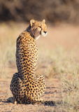 Young Cheetah sitting in the sun. A young Cheetah sitting in the sun photographed in the Kalahari Stock Photography
