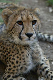 Young cheetah, South Africa Stock Photo