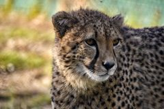 Cheetah looking into the distance. royalty free stock photos