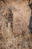 Young cheetah stalking through the bush Stock Photo
