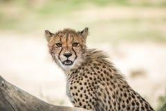 Young Cheetah starring at the camera. Stock Photo