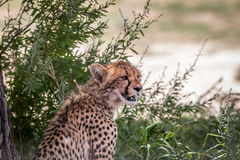 Young Cheetah starring. Stock Photography