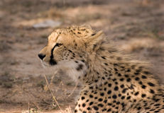 Young Cheetah in Thornybush royalty free stock photography