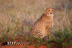 Young cheetah. This cheetah was spotted in the Phinda area of N Natal, waiting for his mom who was hunting Royalty Free Stock Photography