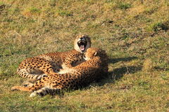 Young cheetahs couple Stock Photography