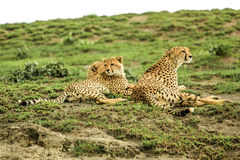 Young cheetahs. Two young cheetahs with their mother Royalty Free Stock Image