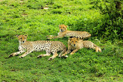 Cheetahs. Two young cheetahs with their mother Royalty Free Stock Photos