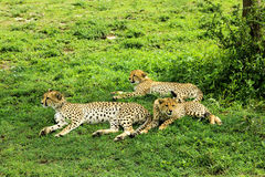 Cheetahs. Two young cheetahs with their mother Stock Images