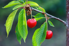 Young cherries hanging on a branch, it is time to summer vitamin Stock Photography