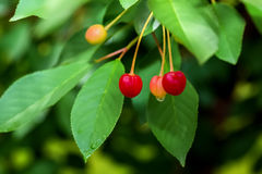Young cherries with water drops on a branch. After a rain Stock Photos