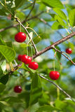 Young cherry Royalty Free Stock Photography