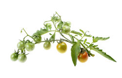 Young cherry green tomato Royalty Free Stock Images