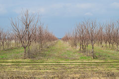 Young Cherry orchard. Growing and Caring for orchard of Cherry trees Royalty Free Stock Photography