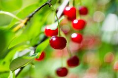 Young cherry on the tree stock photography