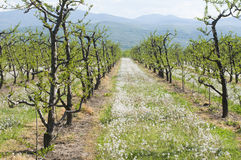Young cherry trees Stock Image