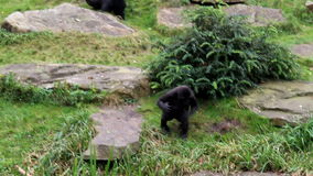 Young chest-beating gorilla stock video footage