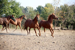 Young chestnut colored horses running in the pinfold. Beautiful foals playing in a pen on summer horse ranch stock images