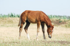 Young chestnut foal. Portrait of beautiful young chestnut trakehner foal Stock Image