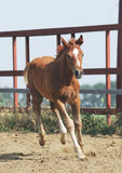 Young chestnut foal. Young chestnut trakehner foal in motion Royalty Free Stock Images
