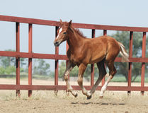Young chestnut foal. Young chestnut trakehner foal in motion Royalty Free Stock Photo