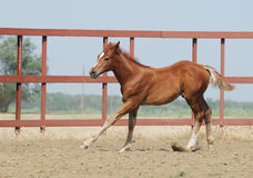 Young chestnut foal. Young chestnut trakehner foal in motion Royalty Free Stock Photography