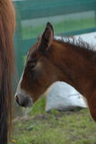Young chestnut foal foal with white whiskers. Young chestnut foal with white whiskers standing behind mum Stock Image
