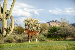 Young chestnut foal with a white blaze in Sonoran desert Stock Image