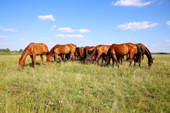 Young chestnut foals and mares eating gras on meadow summertime. Panoramic view of herd of horses when grazing on meadow Royalty Free Stock Images